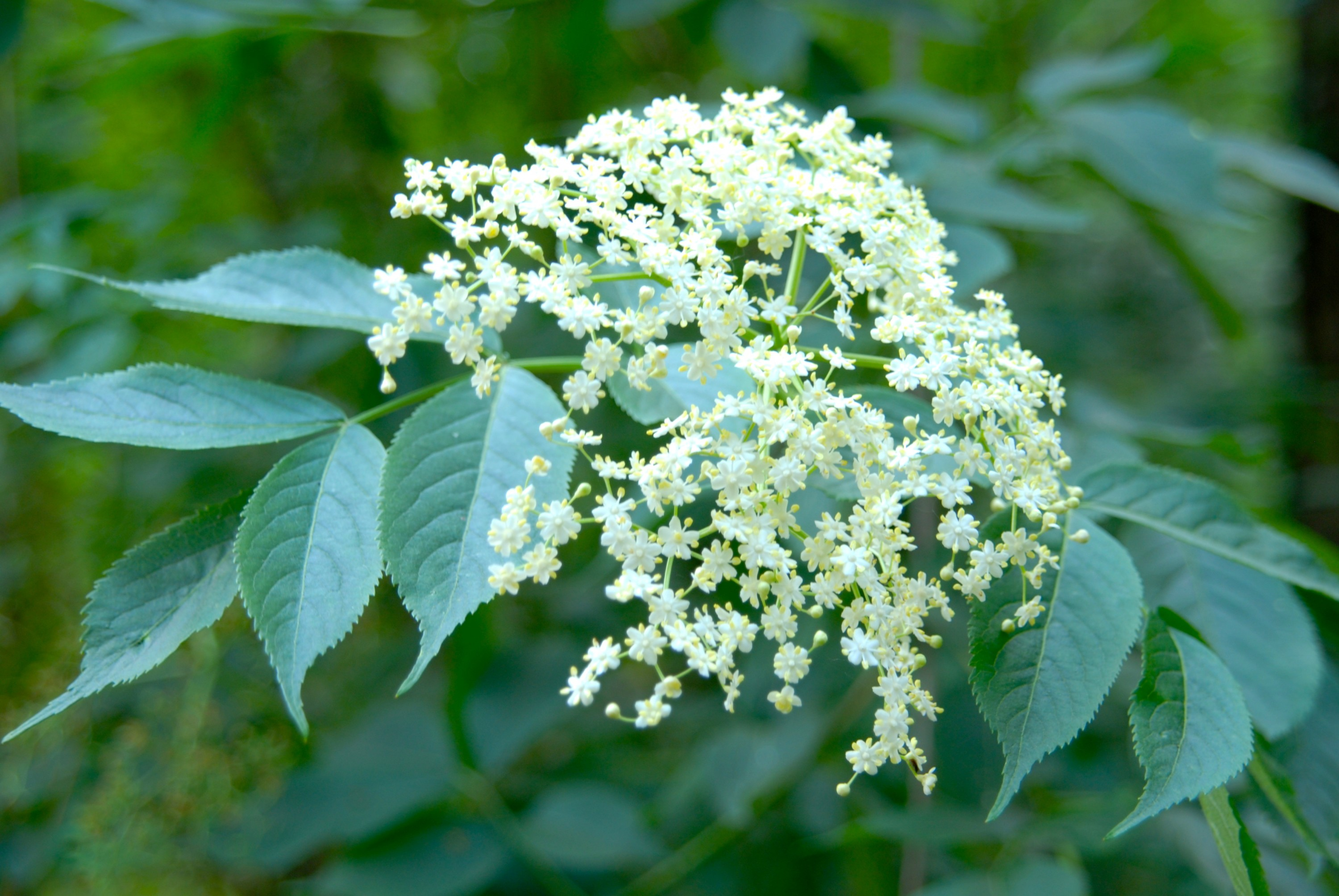 Elderflower Cordial - The Tough Cookie