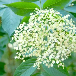Elderflower Cordial Featured